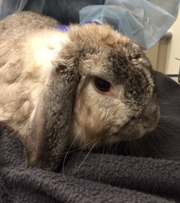 Image of Lop Eared